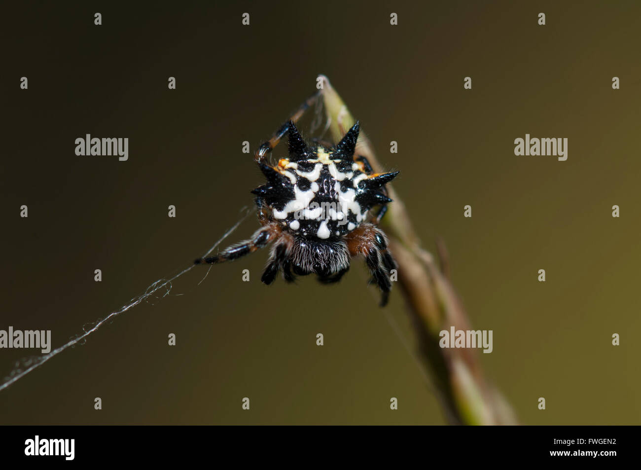 Australian Jewel Spider (Austracantha minax), Western Australia, Australia - Stock Image