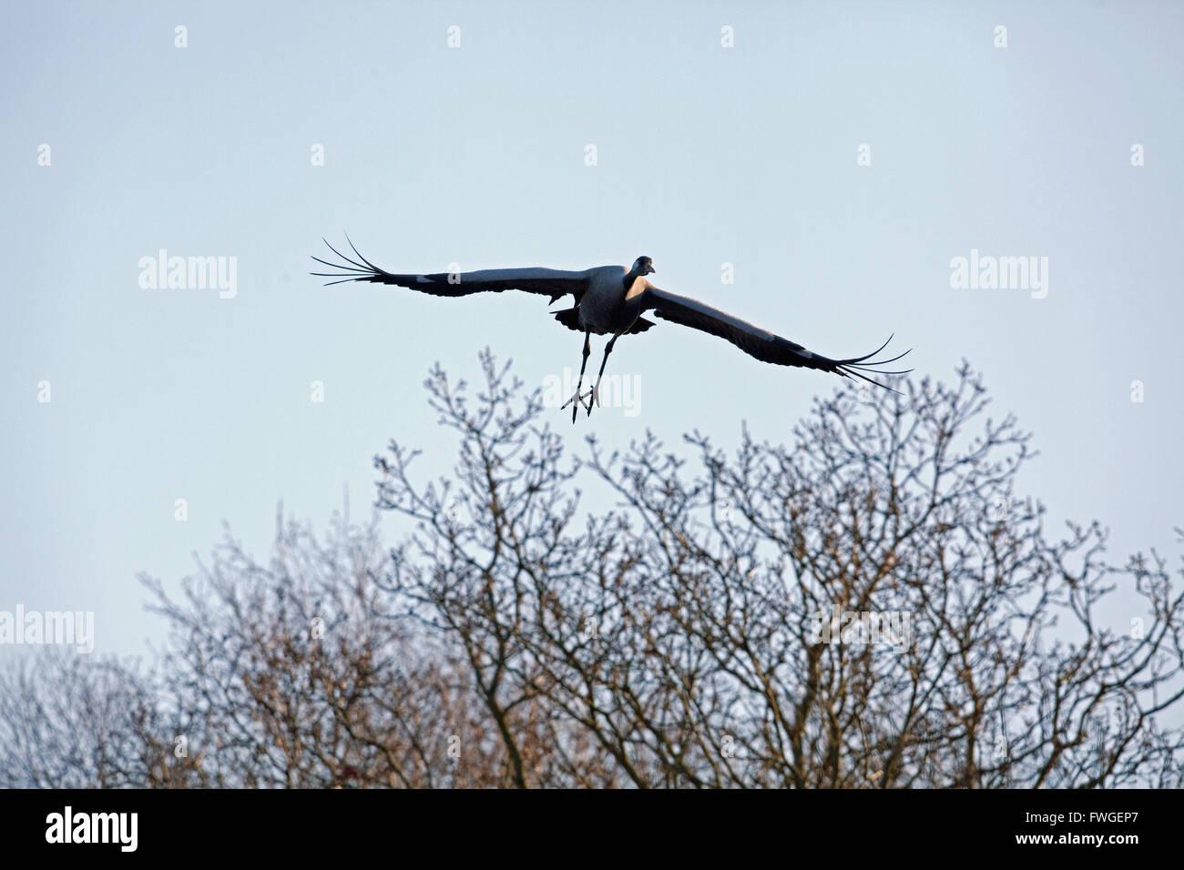 Common or Eurasian Crane (Grus grus).  Approaching flight. Negotiating tree tops. Broadland. Norfolk. UK. Stock Photo