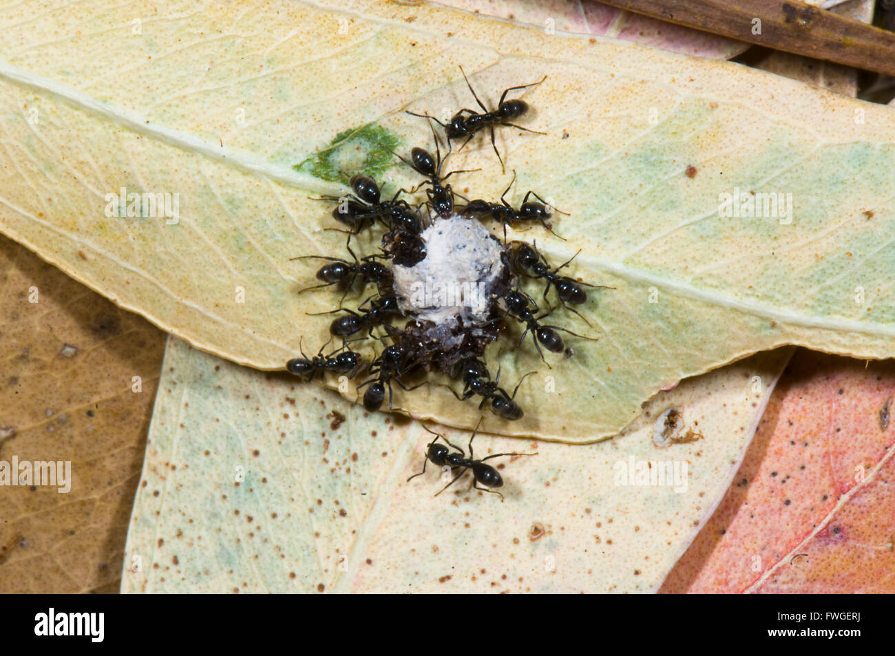 Black Garden Ants Lasius Niger With Food South Australia
