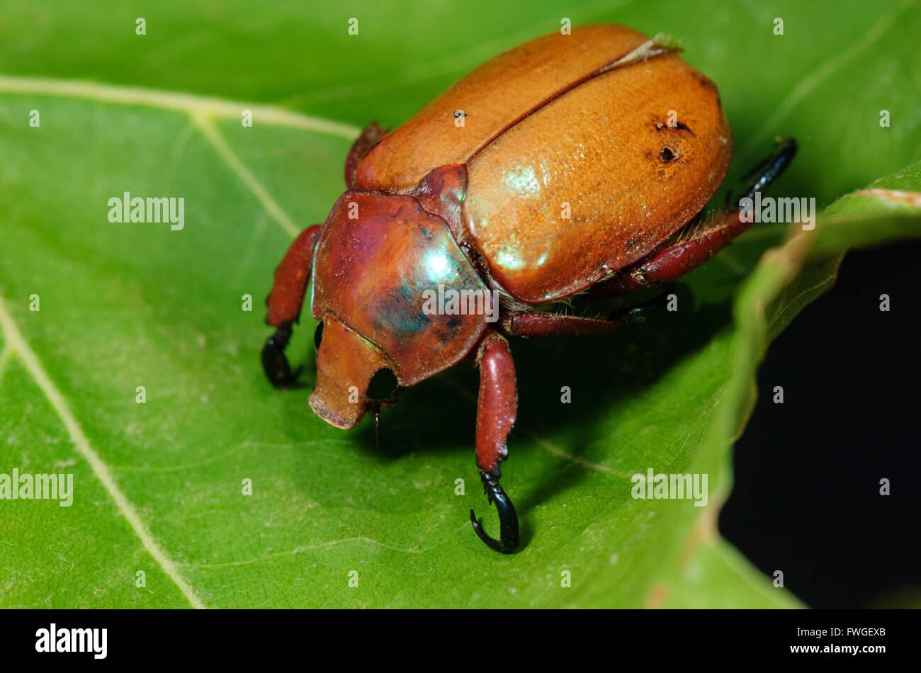 Christmas Beetles.Christmas Beetle Stock Photos Christmas Beetle Stock
