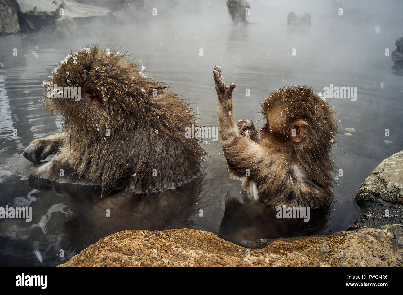 Side View Of Baby Monkeys In Water - Stock Image