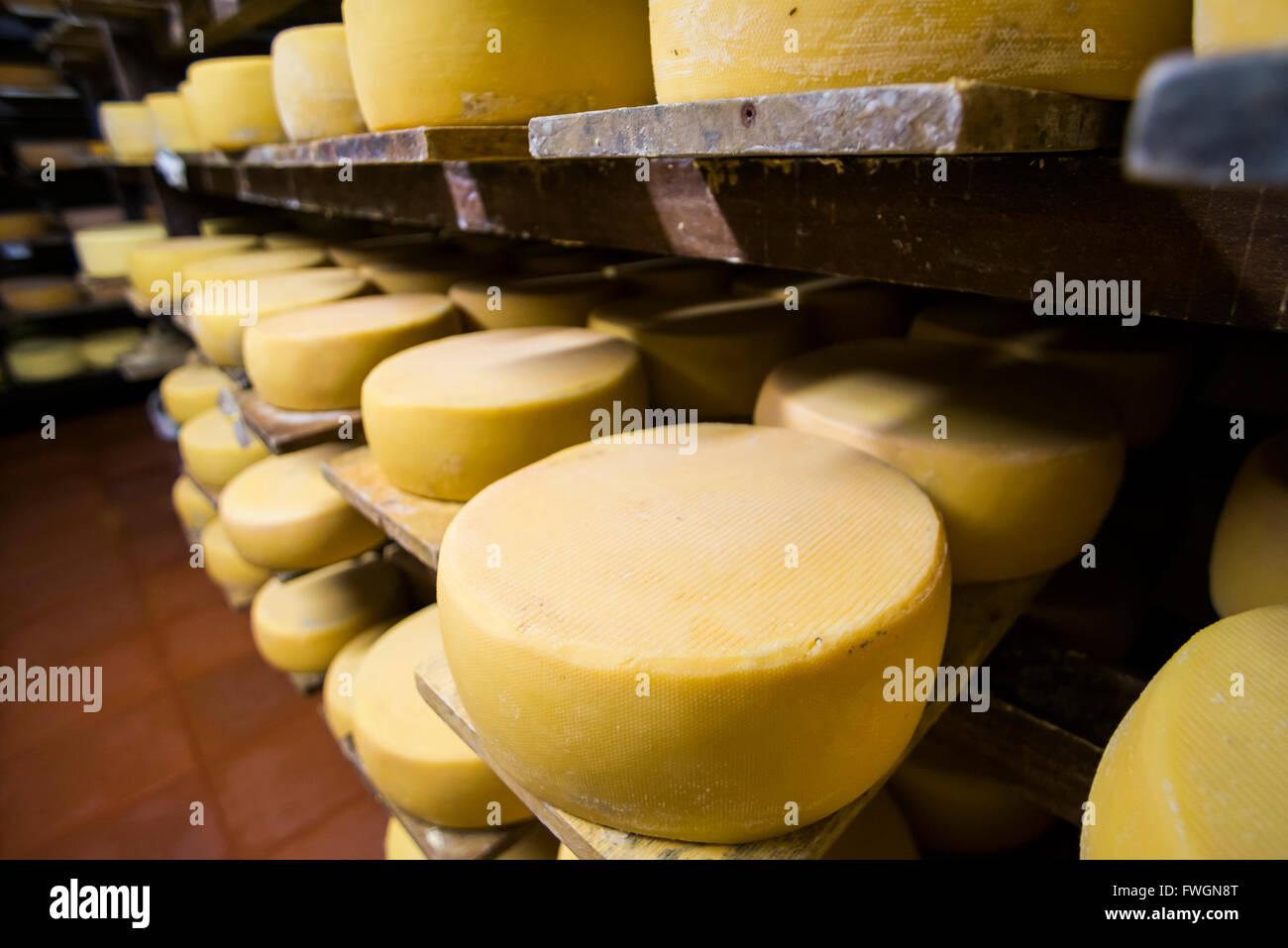 Cheese maturing on a traditional Ecuadorian Hacienda Zuleta, Imbabura, Ecuador, South America - Stock Image