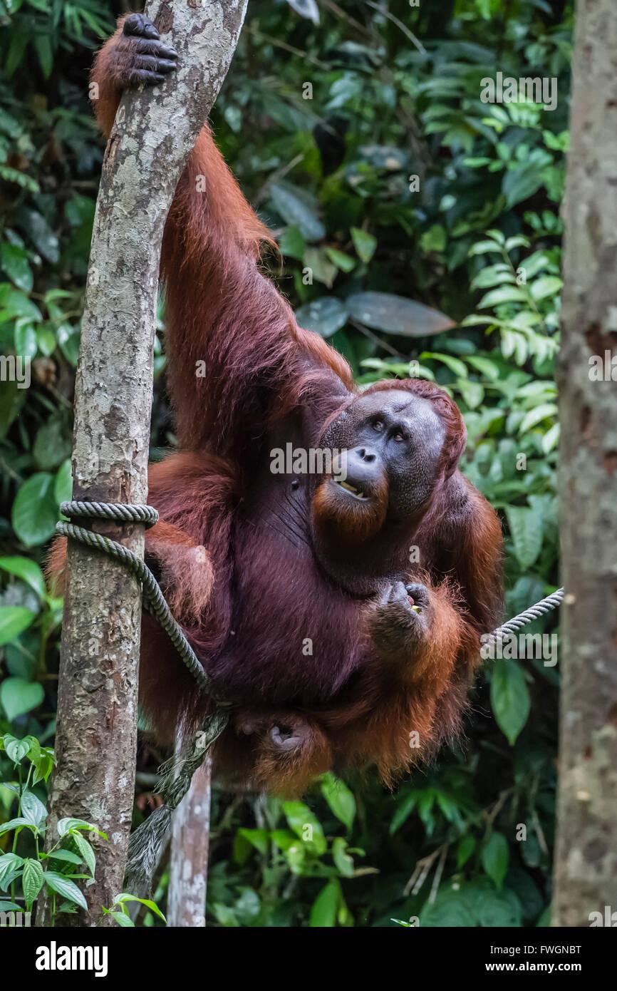 Young male Bornean orangutan (Pongo pygmaeus), Semenggoh Rehabilitation Center, Sarawak, Borneo, Malaysia, Southeast - Stock Image