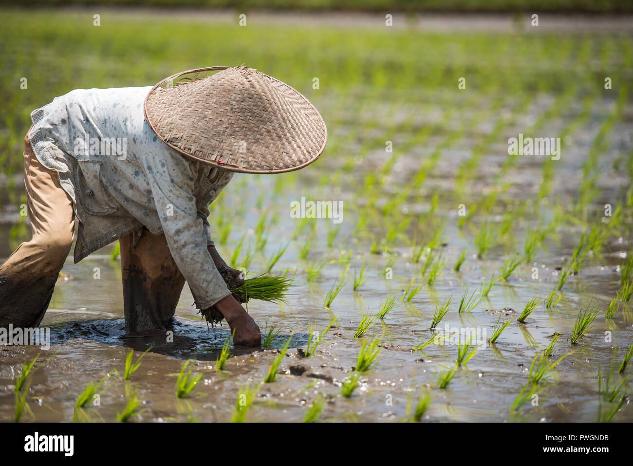 workerin a Padi field, Sumatra, Indonesia, Southeast Asia - Stock Image
