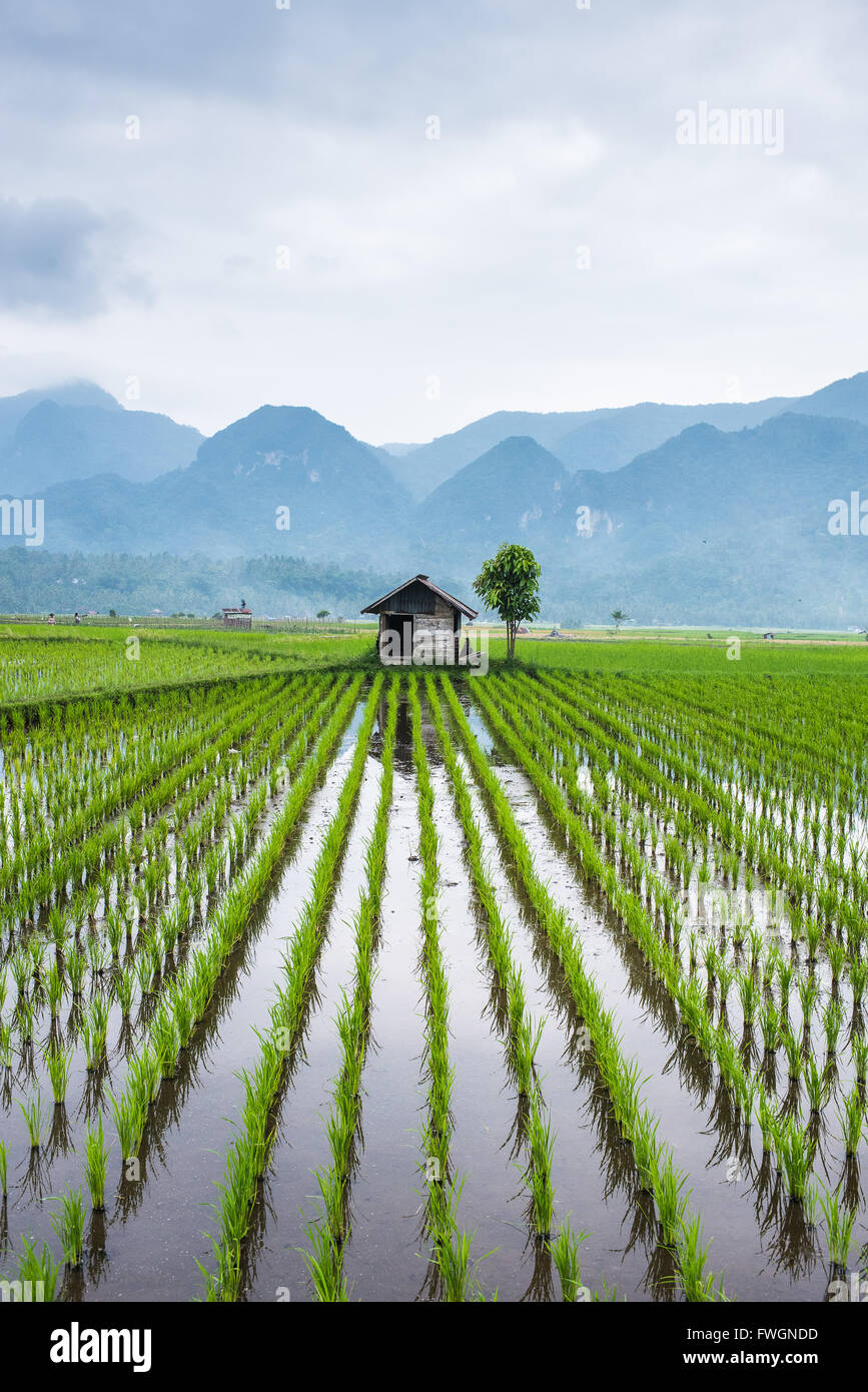 Small hut in the middle of Padi field in Sumatra, Indonesia, Southeast Asia - Stock Image