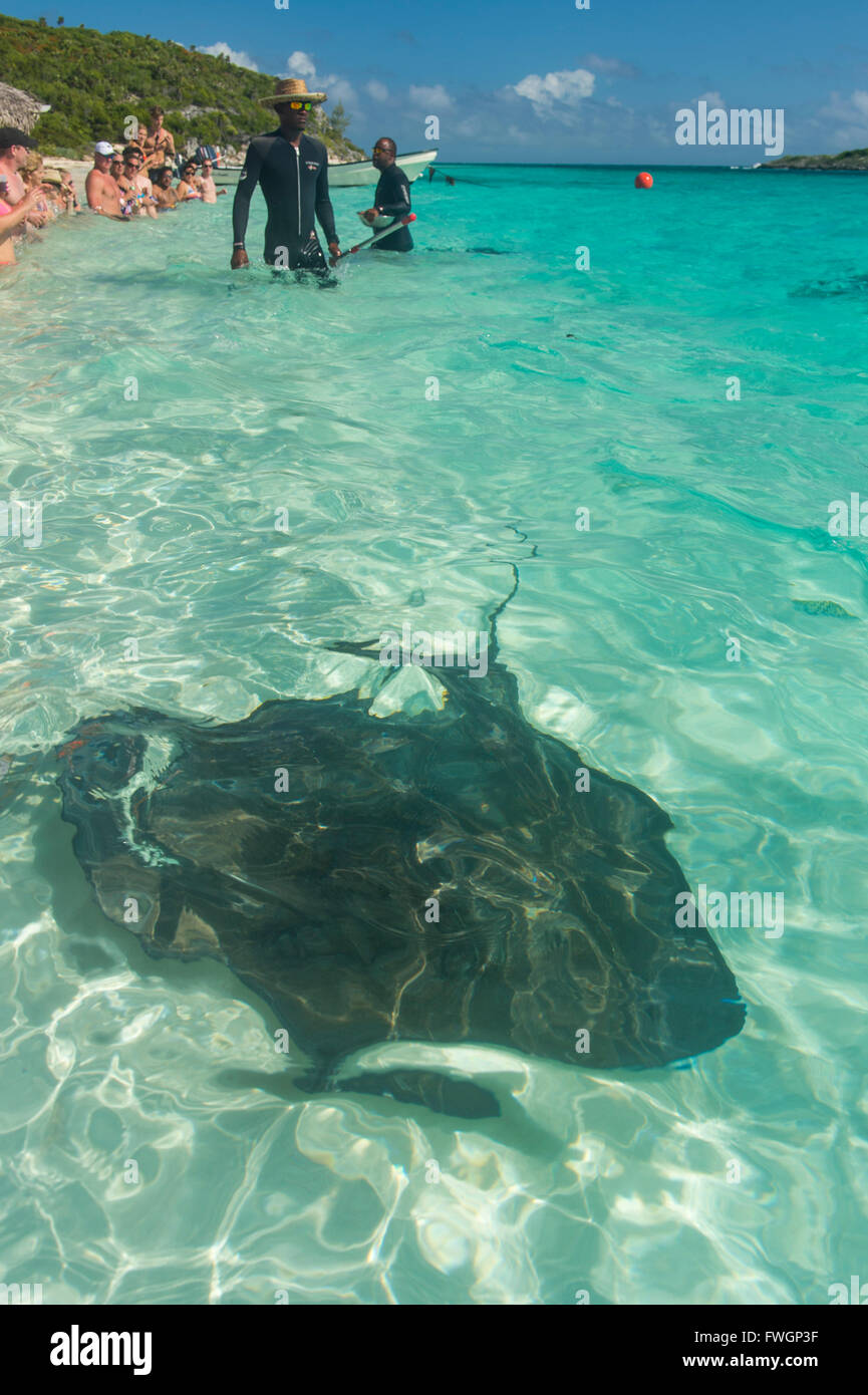 Guides feeding Rays in the turquoise waters of the Exumas, Bahamas, West Indies, Caribbean, Central America - Stock Image