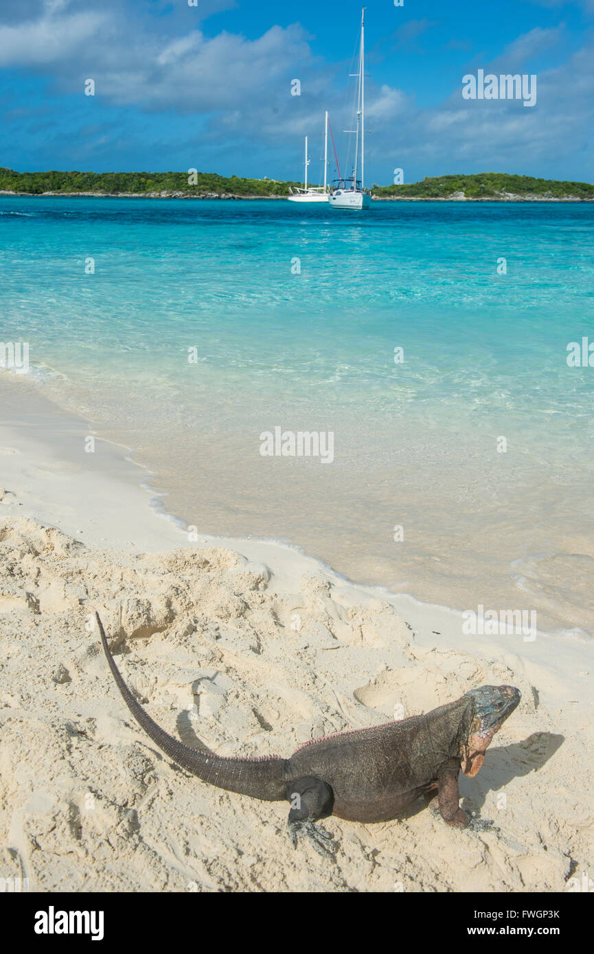 Iguana on a white sand beach, Exumas, Bahamas, West Indies, Caribbean, Central America - Stock Image