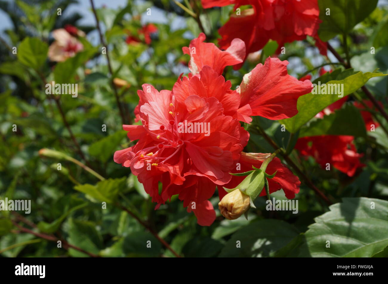 Double bloom red hibiscus flower stock photo 101790370 alamy double bloom red hibiscus flower izmirmasajfo