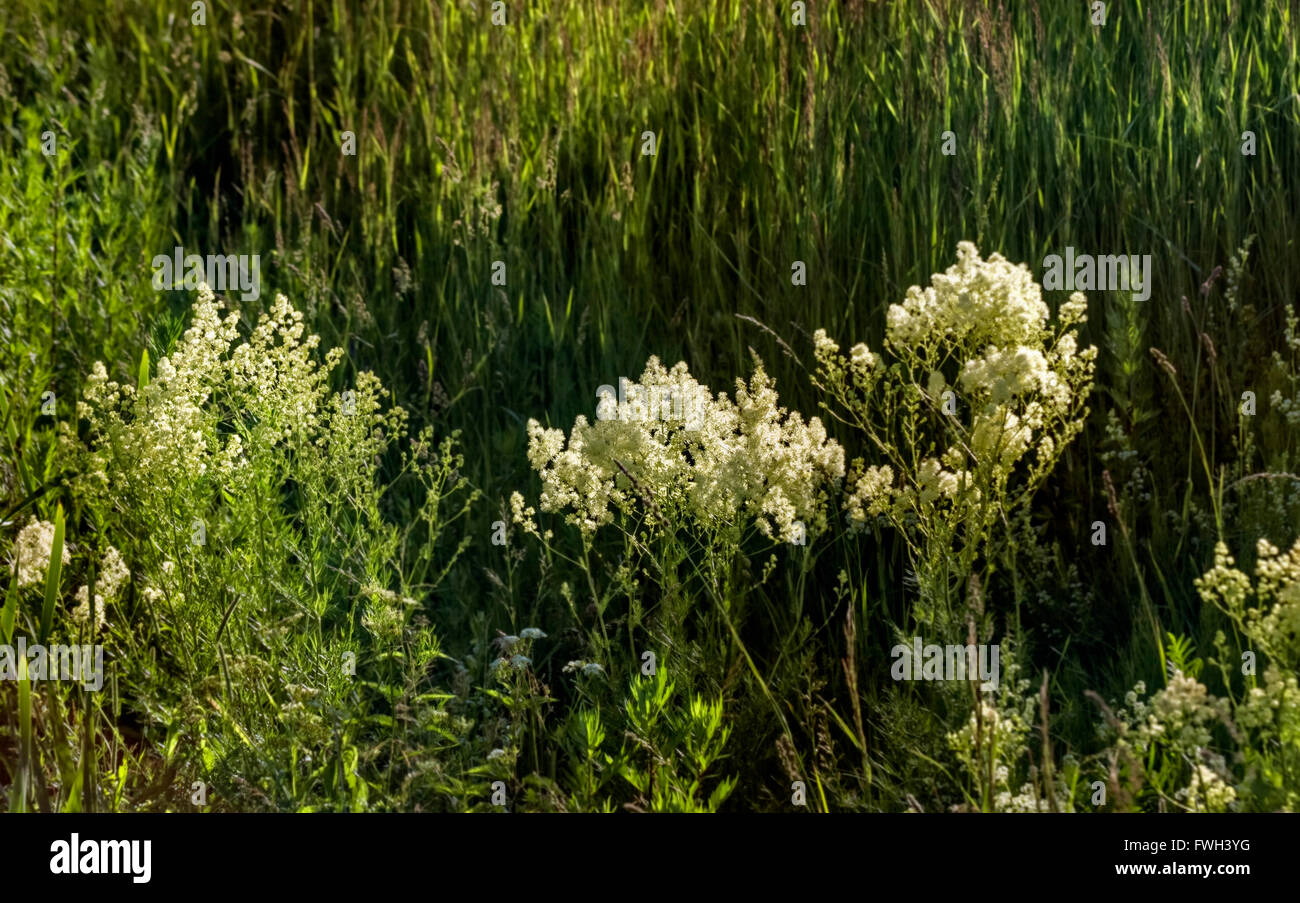 Noce White Flowers In Field By River Grass At Sunny Day Stock Photo