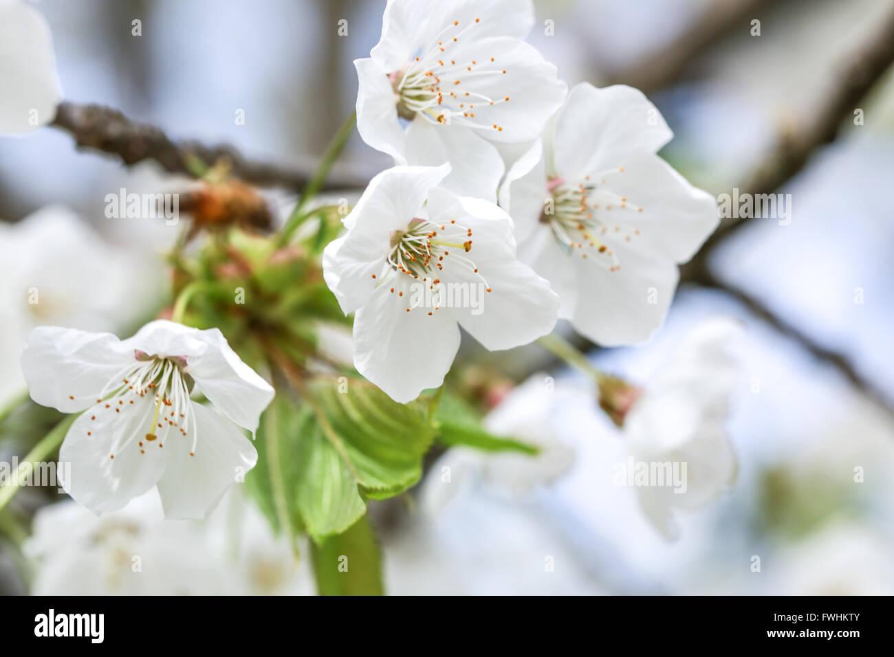 White cherry flower - Stock Image