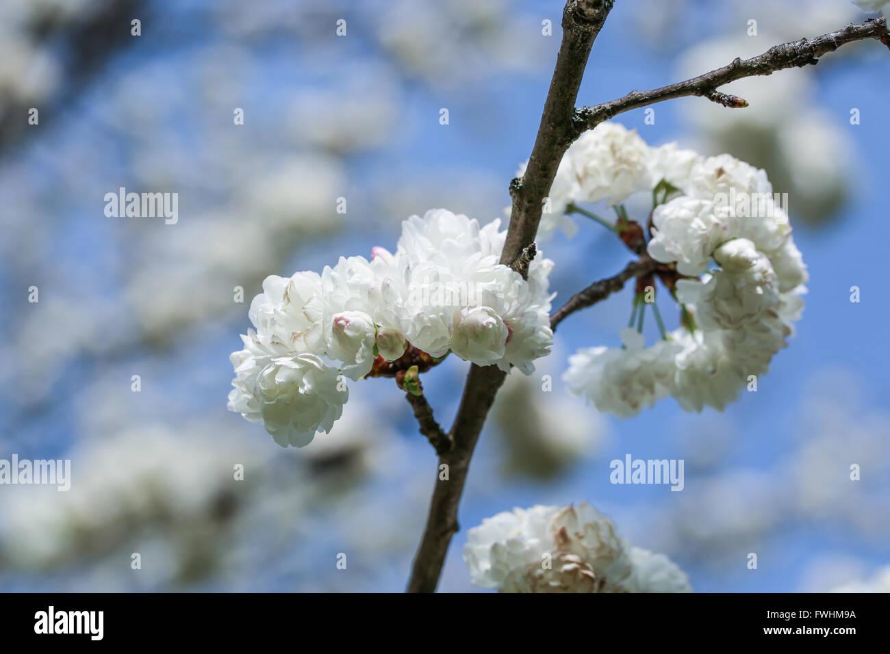 White sakura flowers - Stock Image