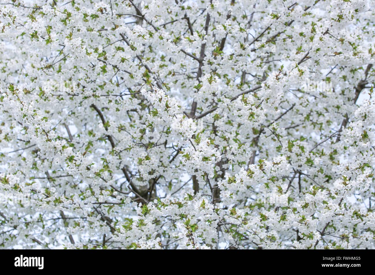 White cherry flowers - Stock Image