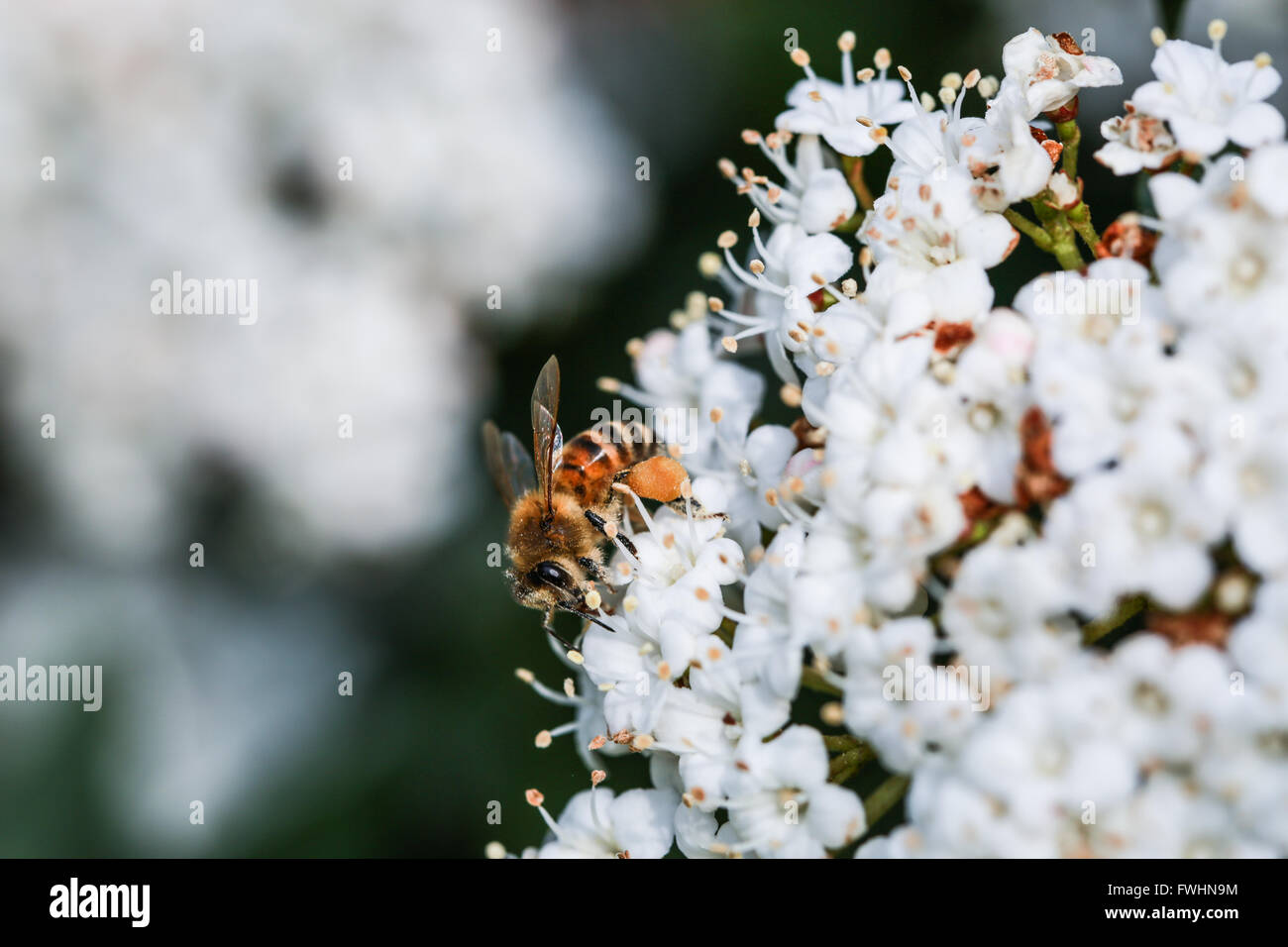 Bee on a viburnum flower - Stock Image