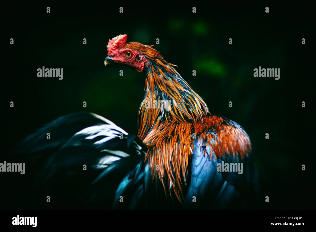 Close-Up Of Rooster - Stock Image