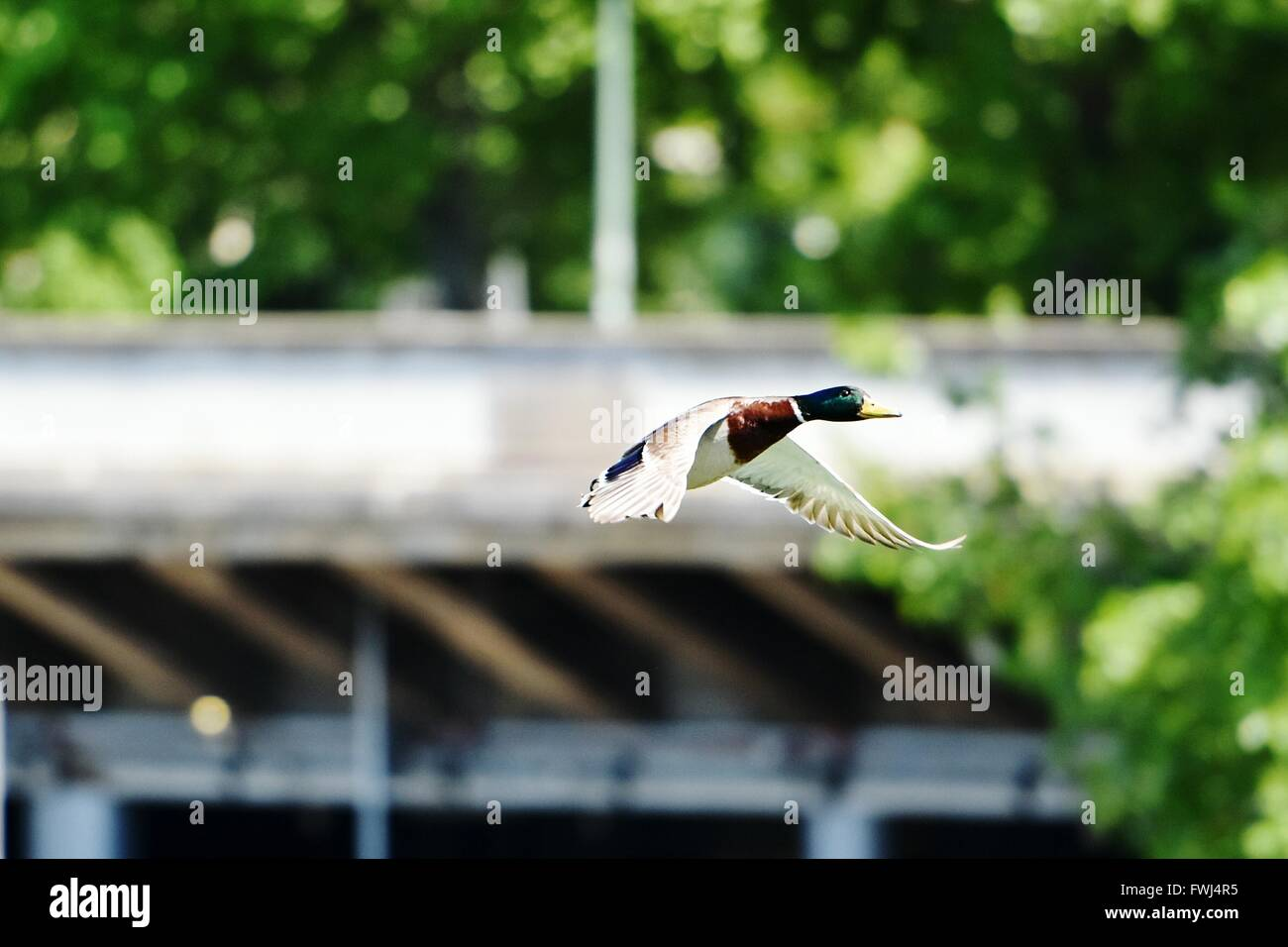 Mallard Duck Flying In Mid-Air - Stock Image