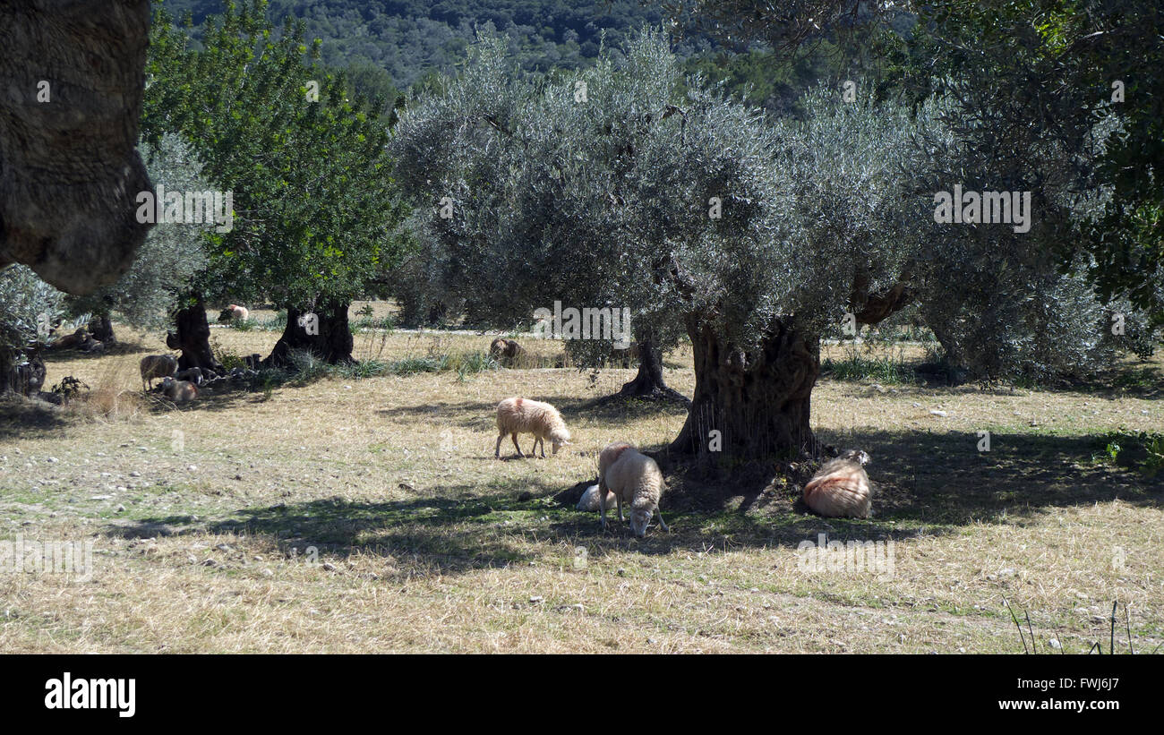 Olive grove, Vall de Colonya, south of Pollensa/Pollenca, Mallorca, Spain. - Stock Image