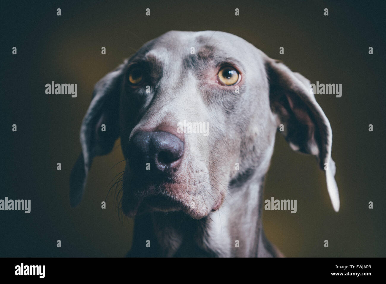 Close-Up Of Weimaraner Looking Away - Stock Image