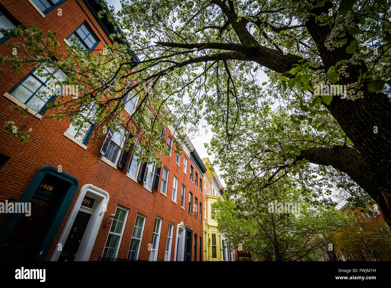 Tree and rowhouses in Bolton Hill, Baltimore, Maryland. - Stock Image