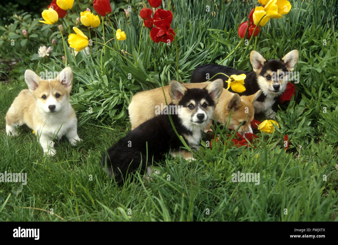 4 Corgi puppies 'tip-toeing through the tulips'! Puppies at play in tulips. - Stock Image