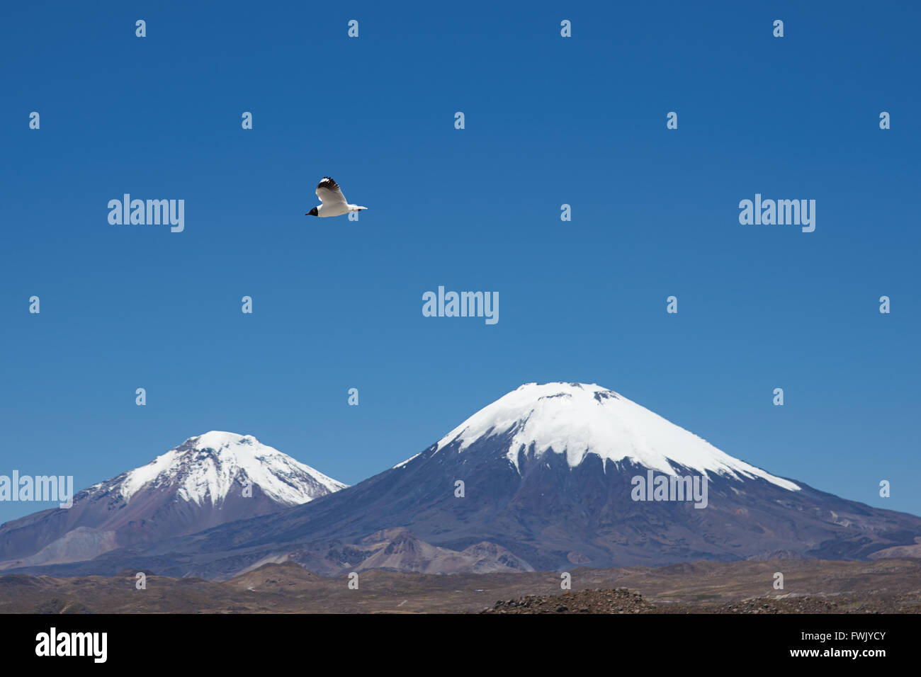 Andean Gull (Gaviota andina) flying in the clear blue sky of the altiplano in Lauca National Park, northern Chile. Stock Photo