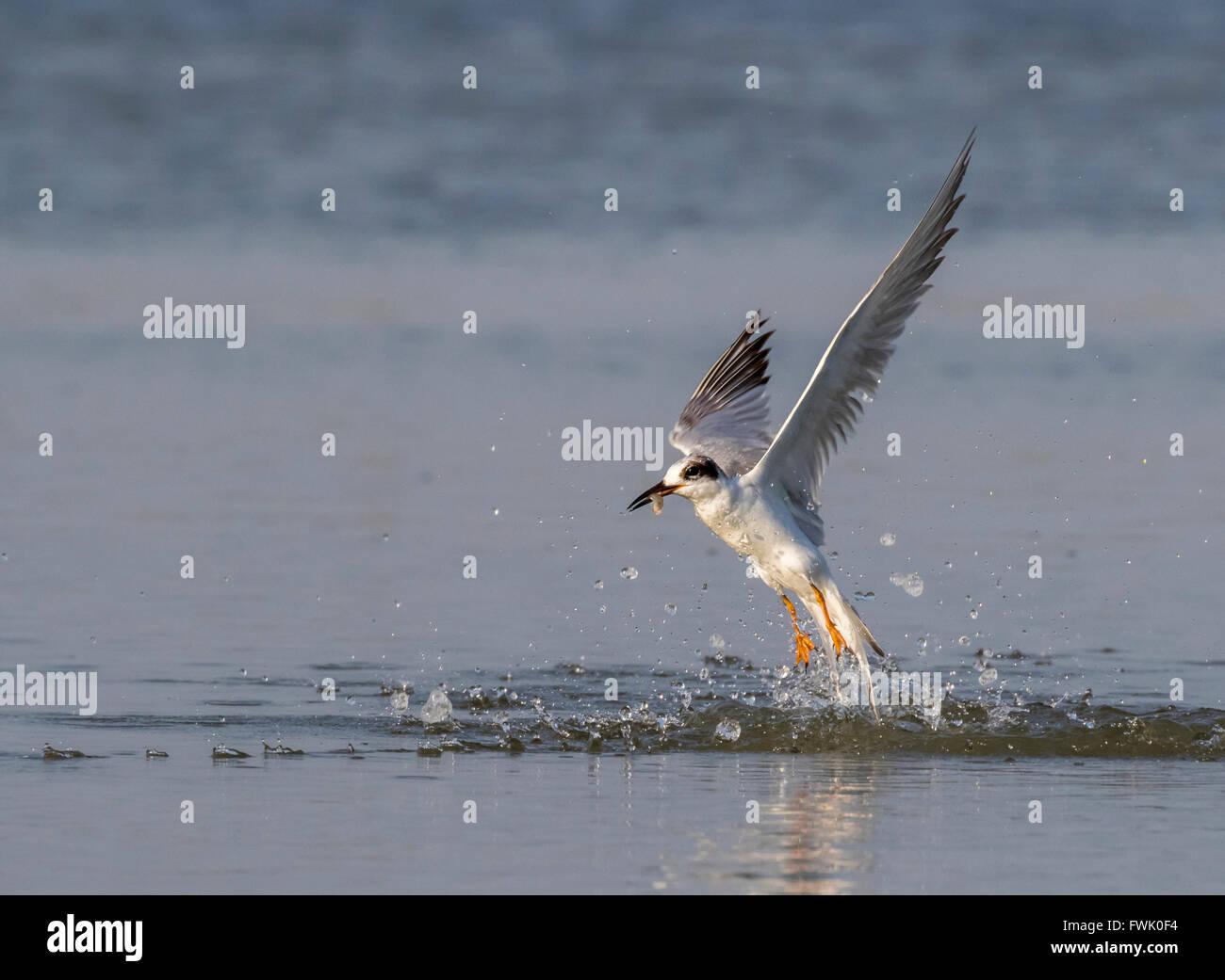 Forster's tern (Sterna forsteri) hunting in the ocean, Galveston, Texas, USA. - Stock Image