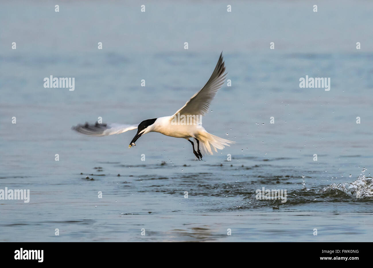 Sandwich tern (Thalasseus sandvicensis) hunting in the ocean, Galveston, Texas, USA. - Stock Image