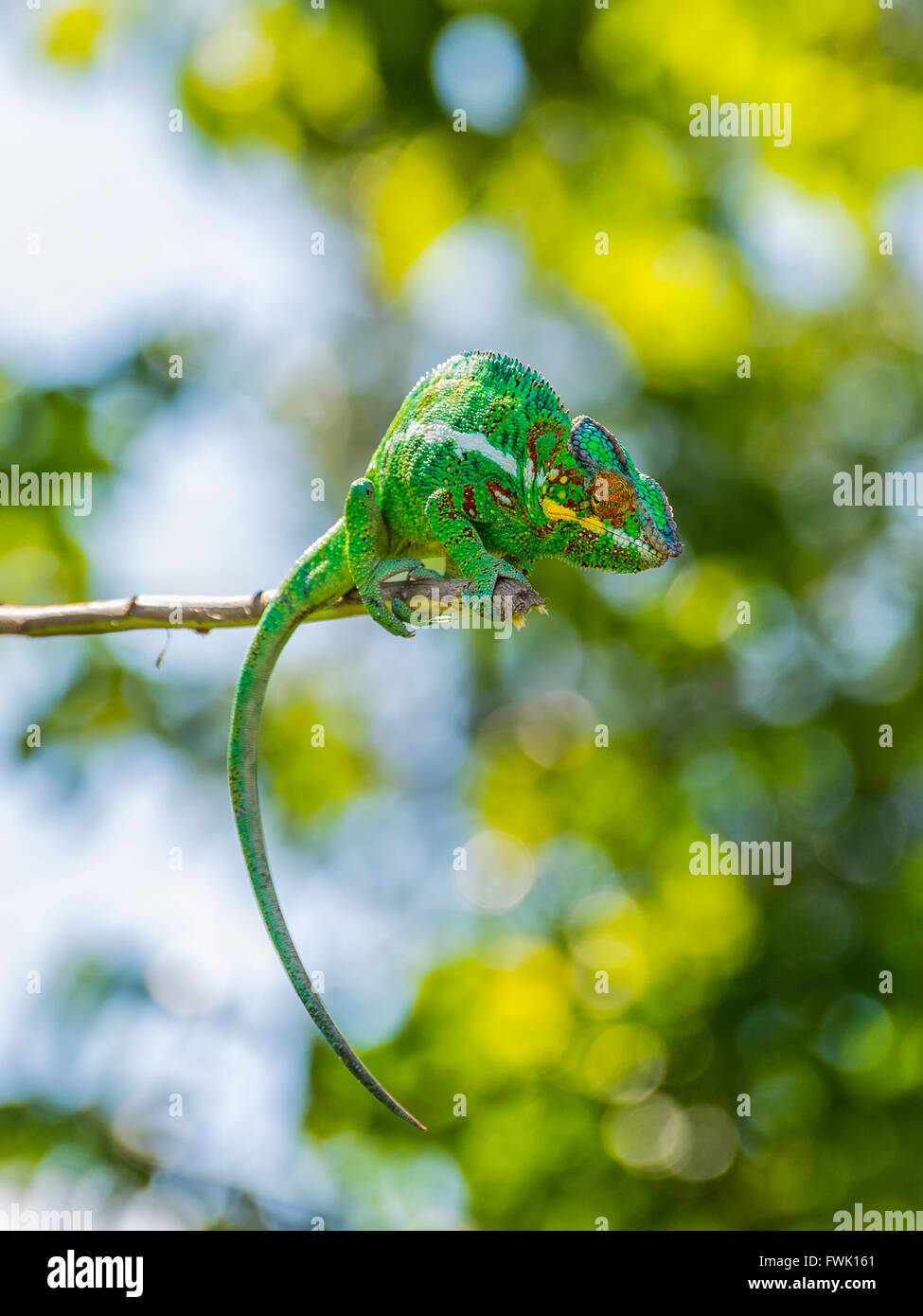Chameleon sitting on a branch - Stock Image