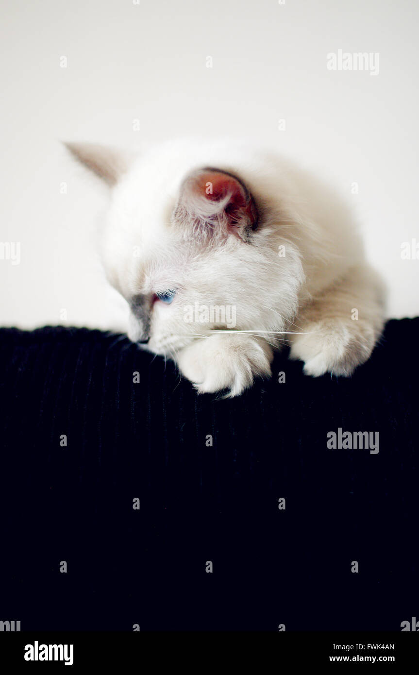 White Kitten Looking Down At Home - Stock Image