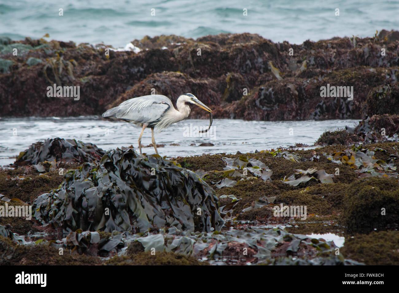 Gray Heron At Dirty Beach - Stock Image