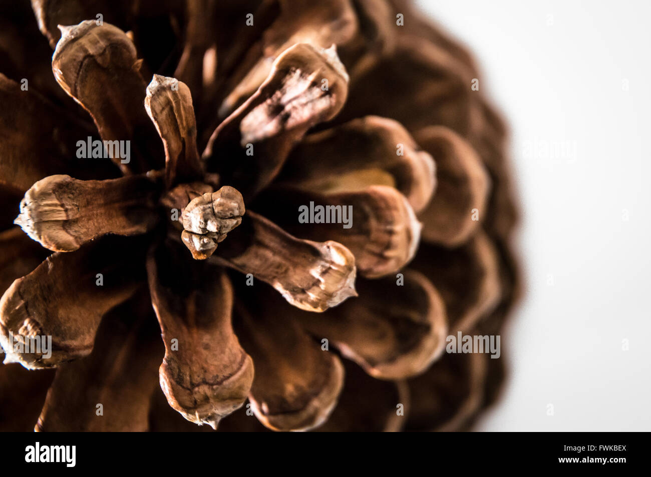 Close-Up Of Pine Cone Over White Background - Stock Image