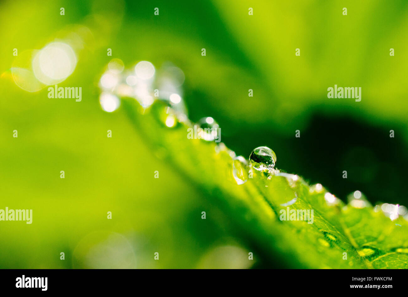 Detail Of Dew Drops On Leaf - Stock Image