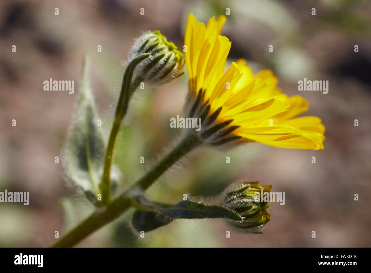 Desert Marigold, superbloom, Death Valley National Park, California, USA - Stock Image