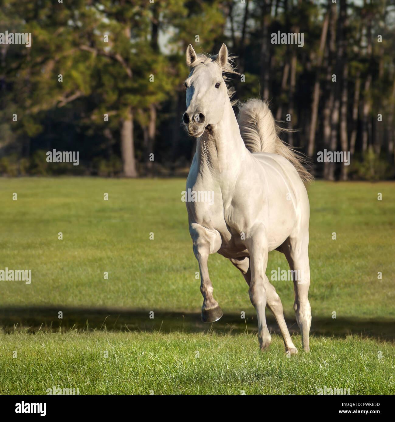 Thoroughbred stallion horse gallops toward us - Stock Image