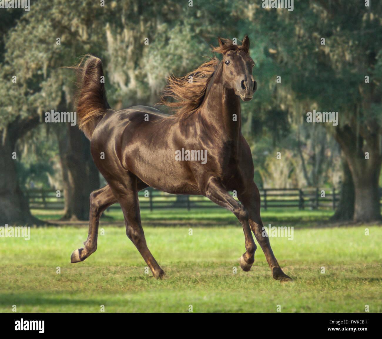 Missouri Fox Trotter Stallion - Stock Image