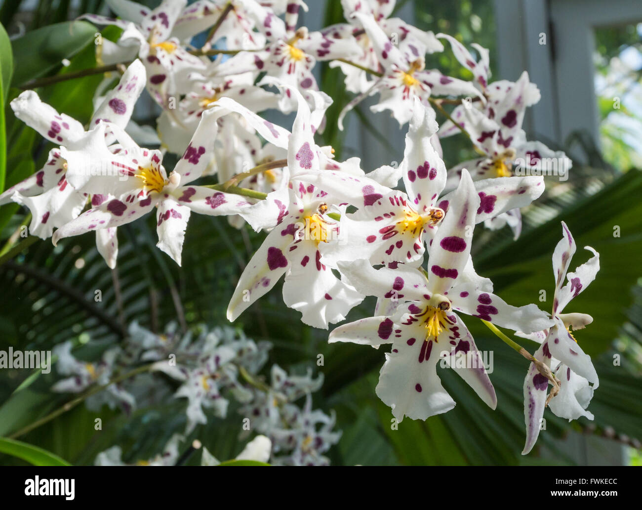 Beallara Bllra. Tropic Lily 'Hilo Spaceship' orchid (Orchidaceae) with white and purple spotted flowers - Stock Image