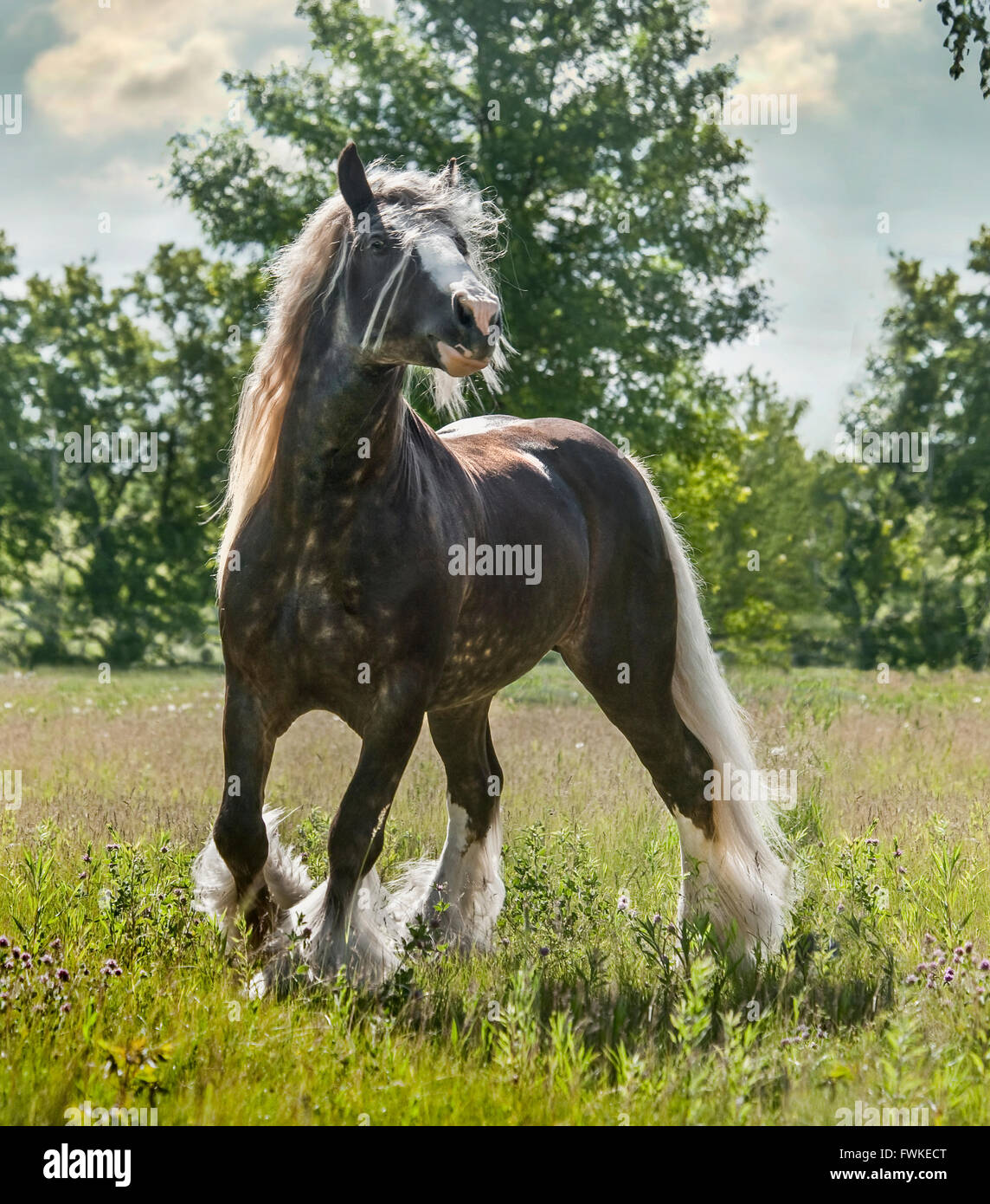 Gypsy Vanner Horse stallion Stock Photo