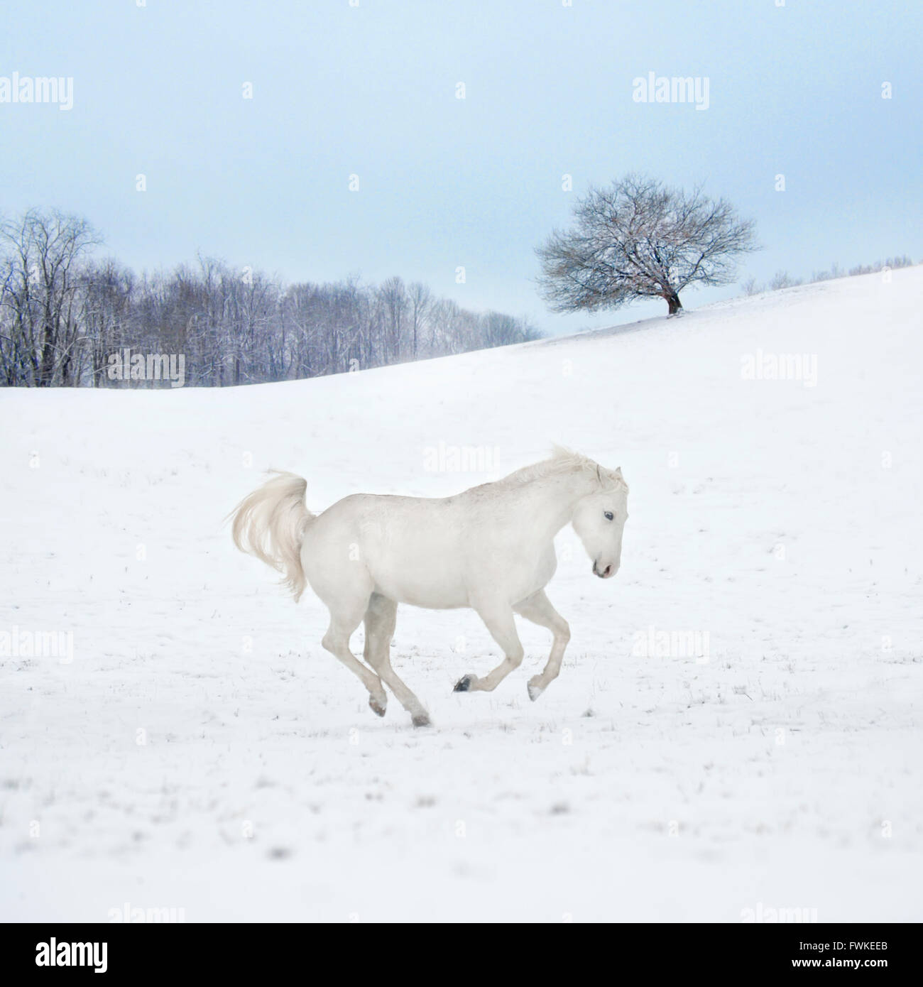 Appaloosa gelding running across snow covered pasture - Stock Image