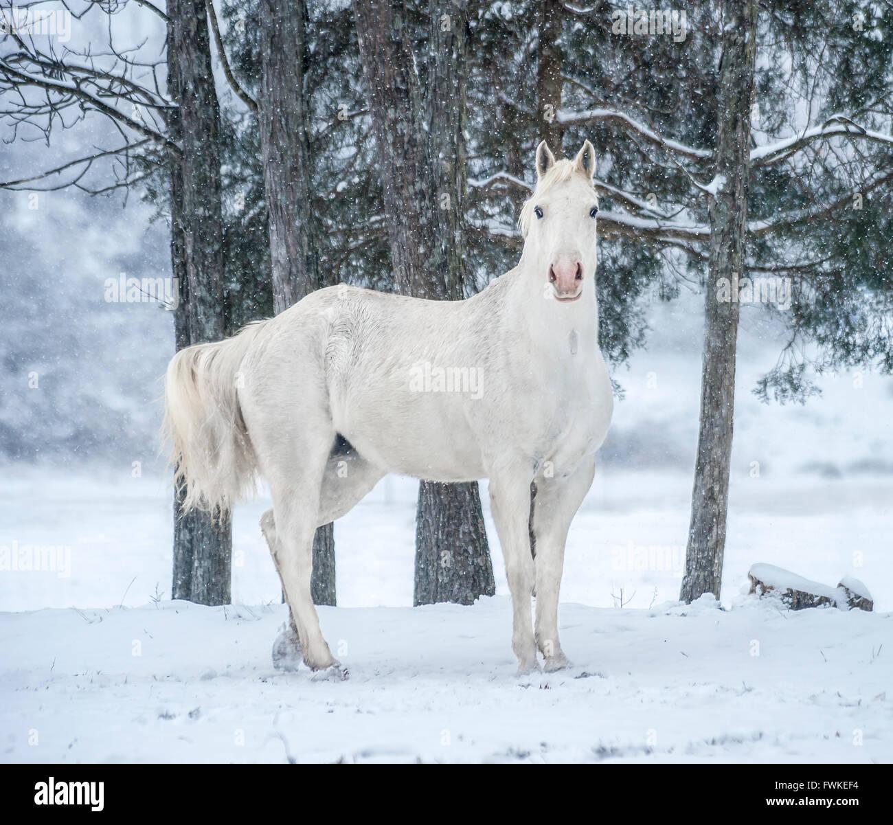 Appaloosa gelding in snow pasture - Stock Image
