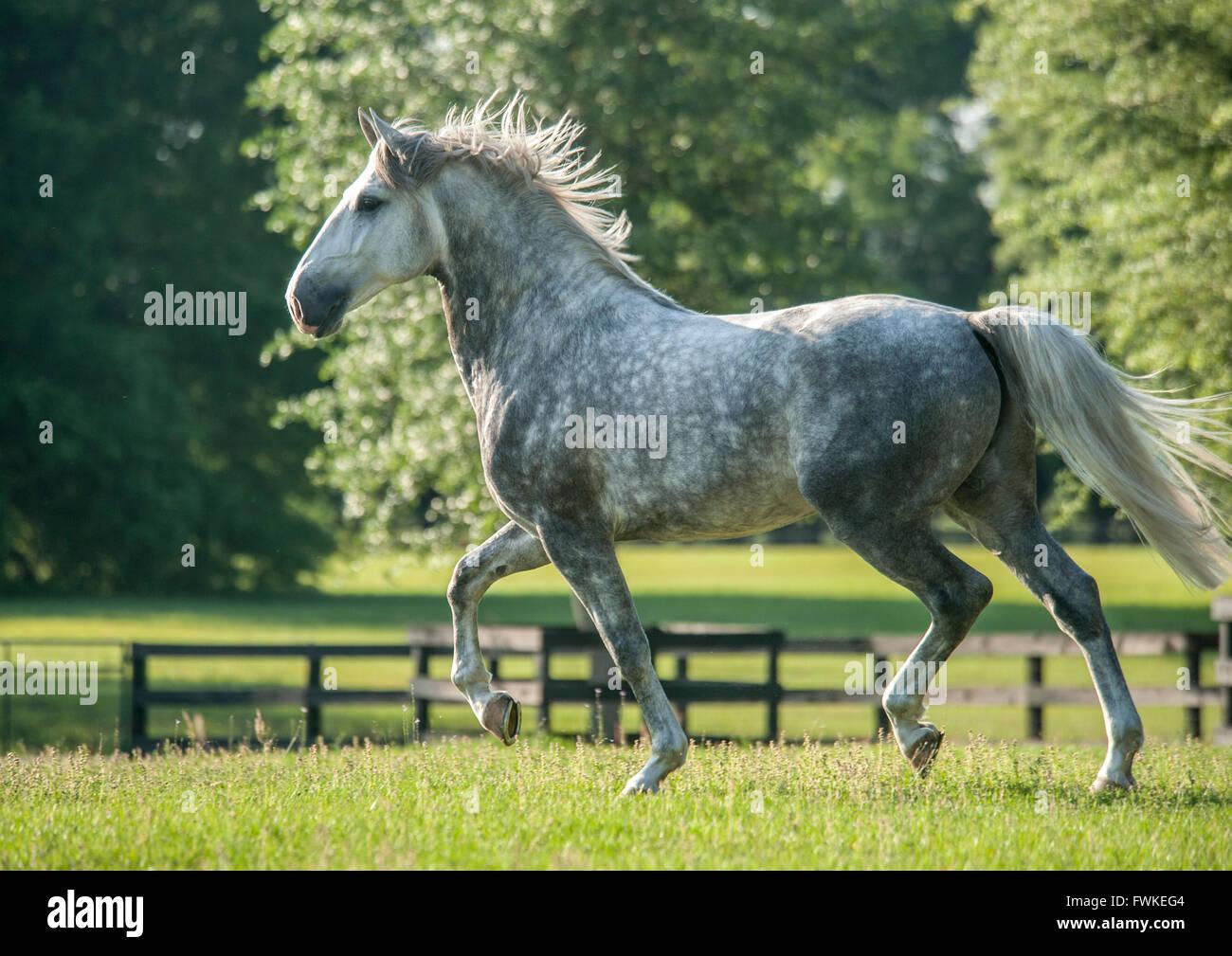 Four year old Lucitano stallion. - Stock Image