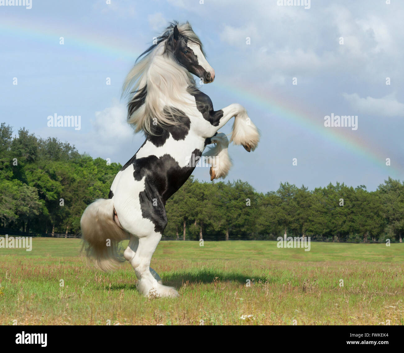 Gypsy Vanner Horse stallion - Stock Image