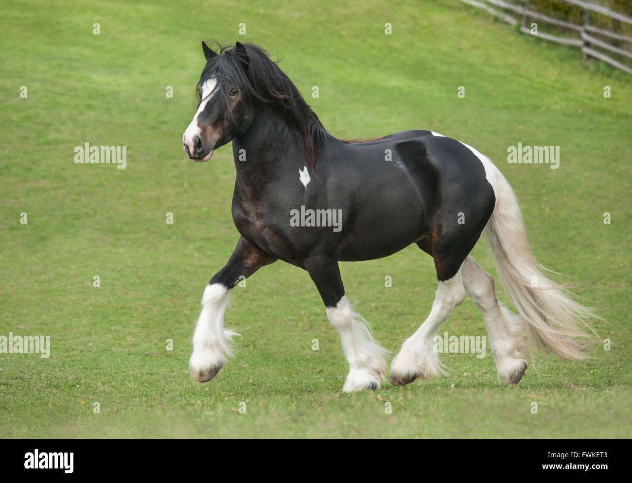 Gypsy Vanner Horse stallion. - Stock Image