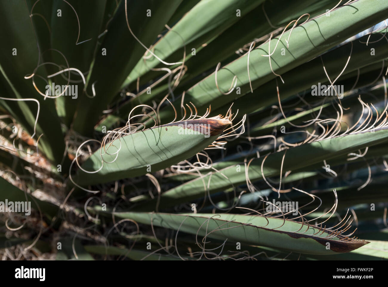 Close up of the bladed leaves of a Spanish Dagger shrub plant (Yukka Faxoniana - Agavaceae) - Stock Image
