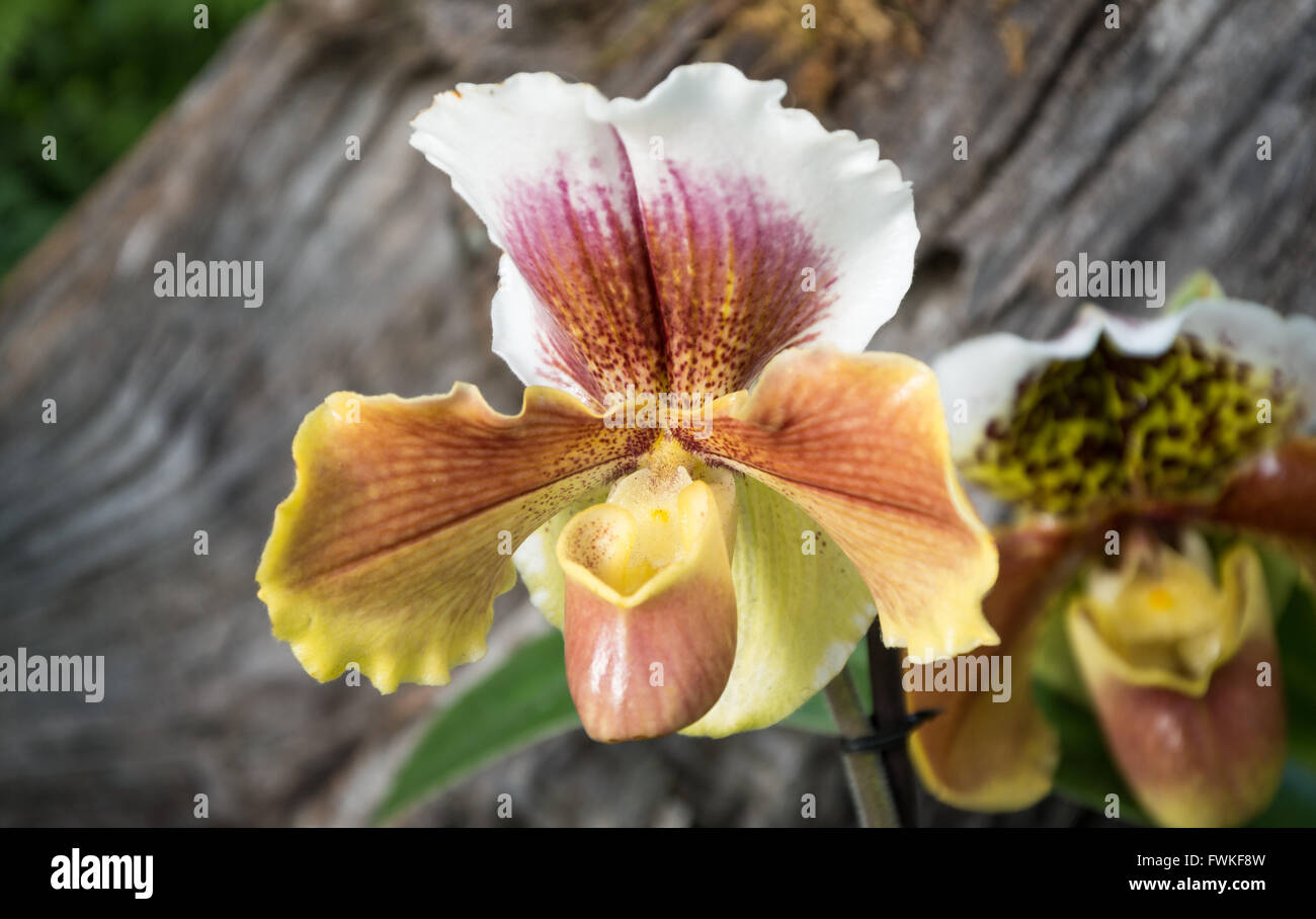 Flower of Slipper Orchid (paphiopedilum hybrid - orchidaceae) - Stock Image