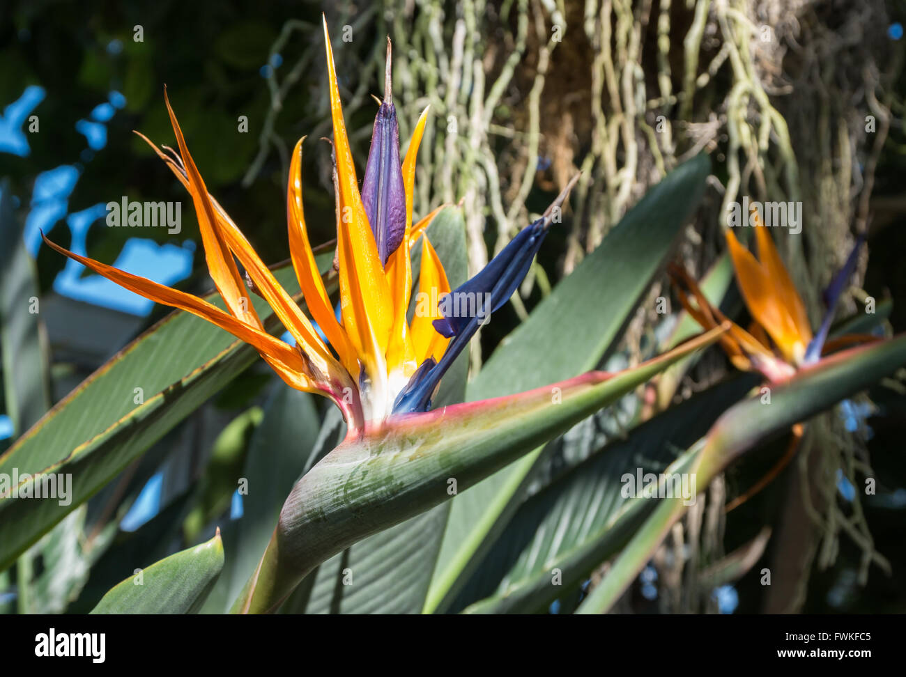 Close up of flower on Bird of Paradise plant (Strelitzia - Strelitziaceae) in a conservatory - Stock Image