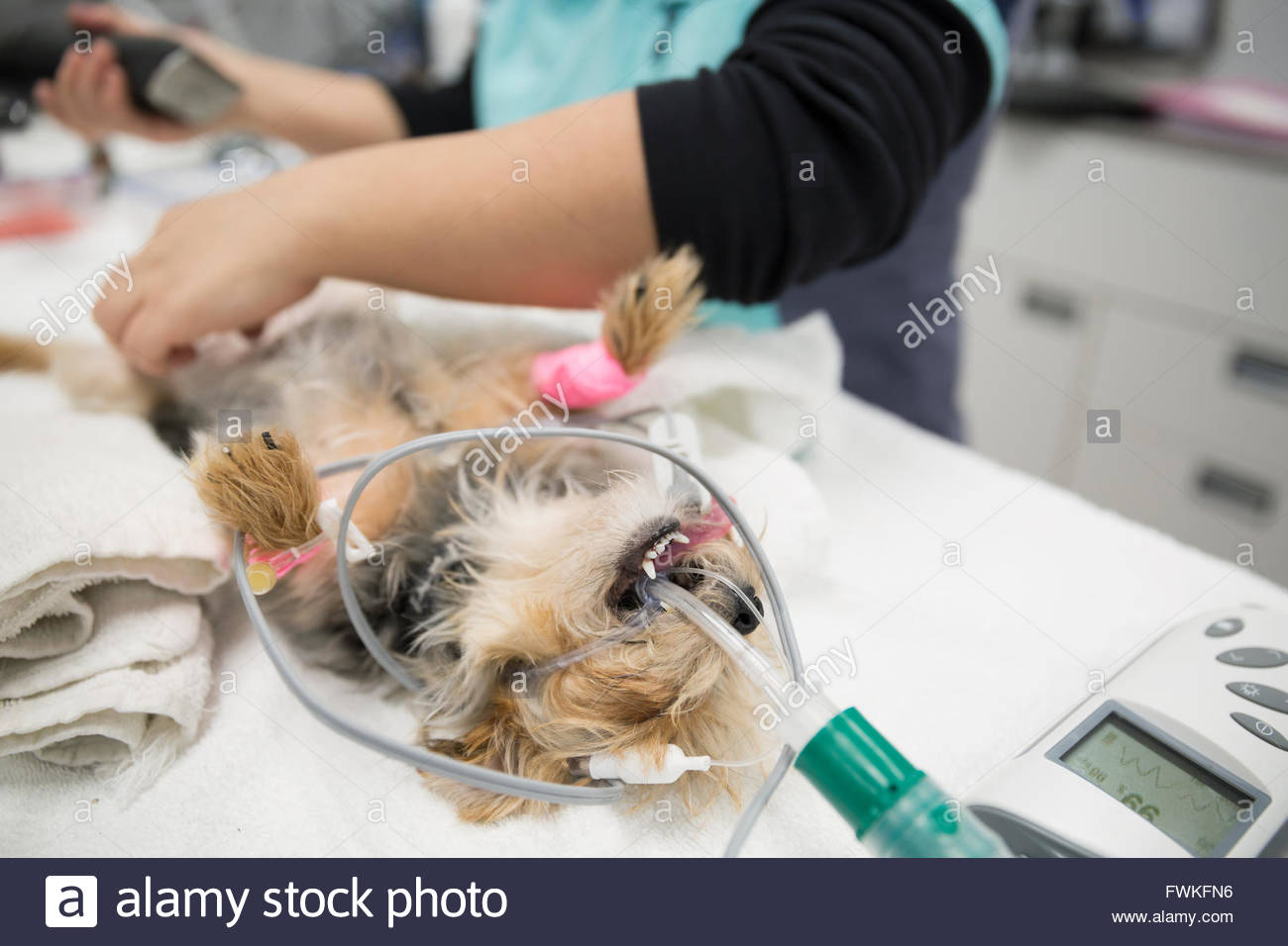 Sedated dog undergoing surgery in veterinarian clinic - Stock Image