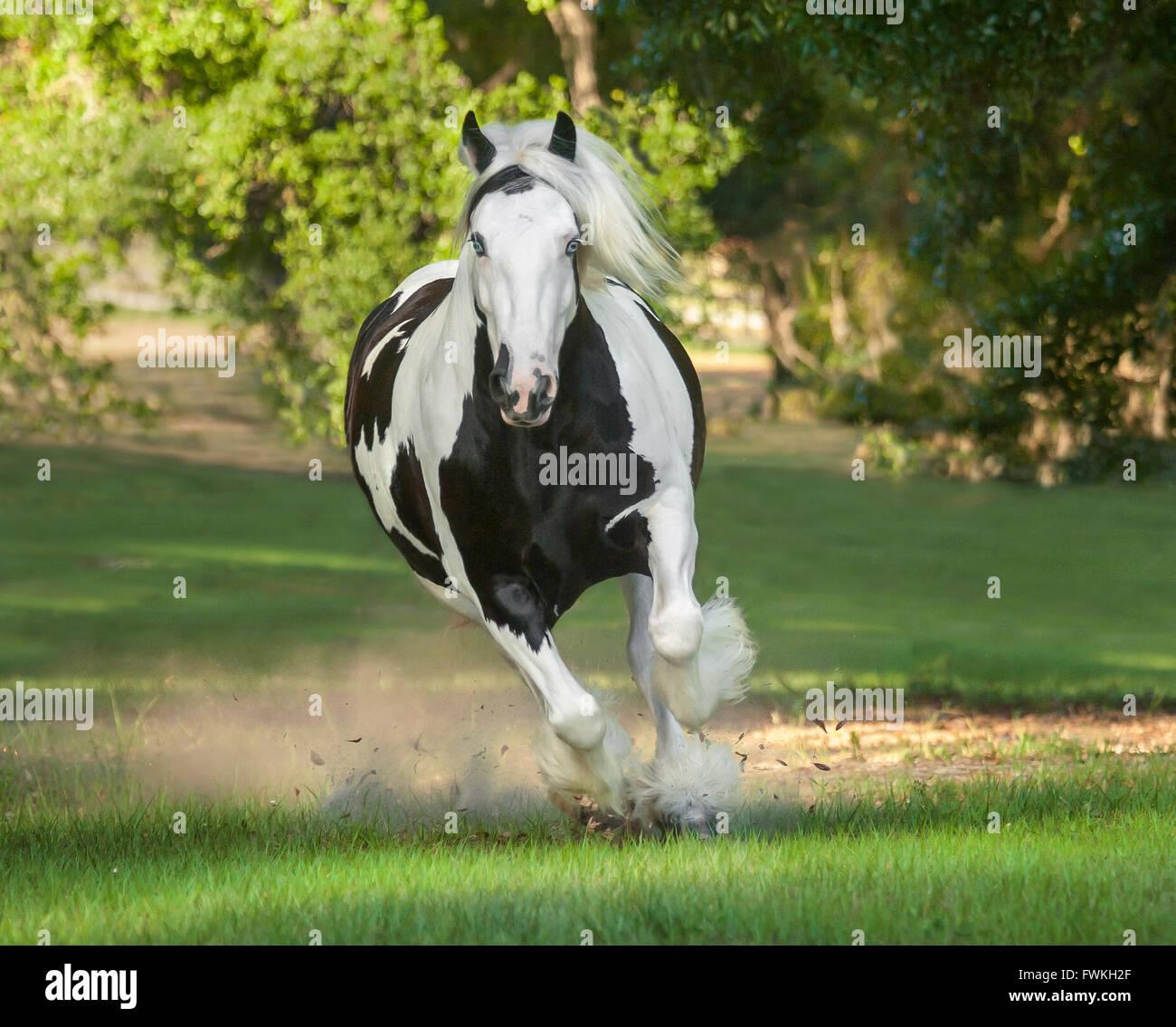 Gypsy Vanner Horse mare gallops toward us - Stock Image