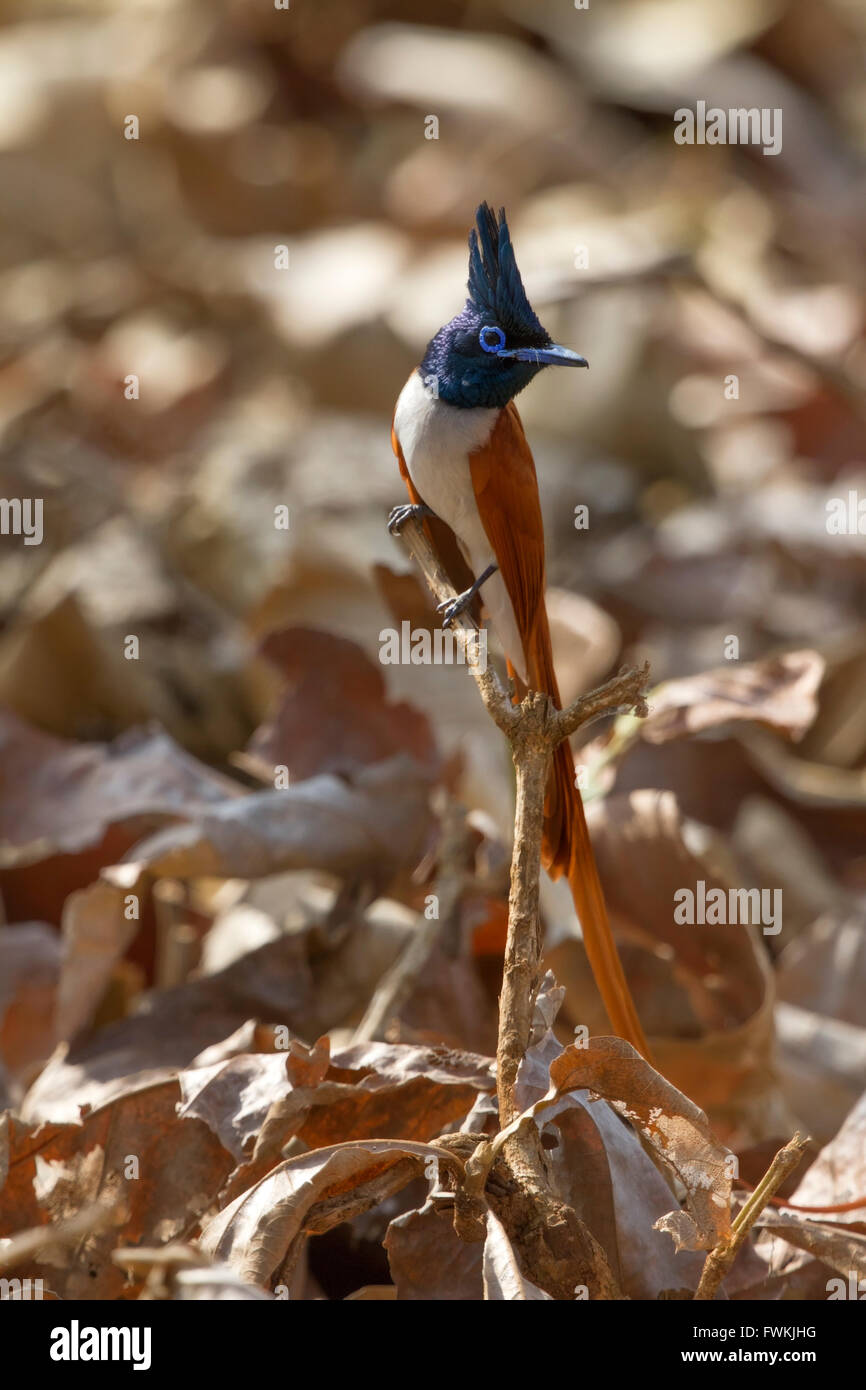 The Indian paradise flycatcher (Terpsiphone paradisi), is medium-sized passerine bird native to Asia that is widely Stock Photo