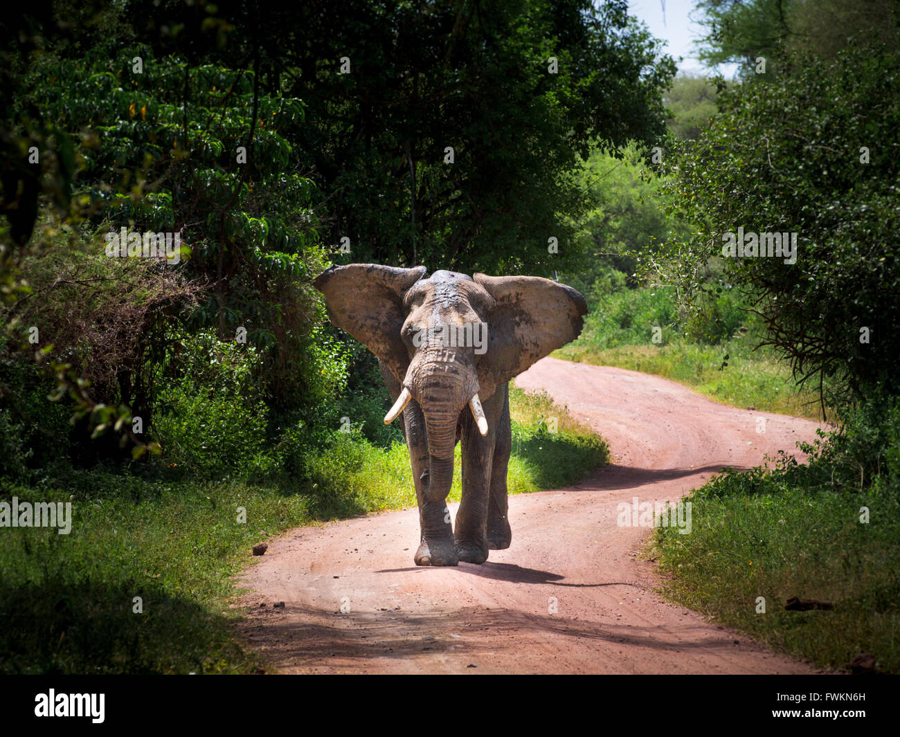 Large bull elephant (Loxodonta africana) walking on road in Lake Manyara National Park, Tanzania, Africa - Stock Image