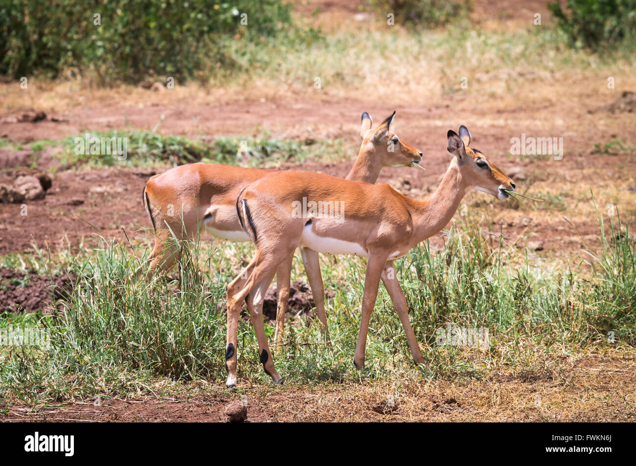 Two female Impala (Aepyceros melampus) grazing in Lake Manyara National Park, Tanzania, Africa - Stock Image