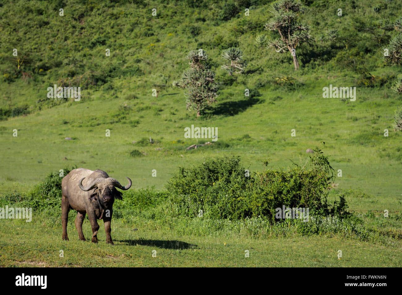 African Buffalo (Syncerus caffer) standing in green grassland near edge of basal plain of Ngorongoro Crater, Tanzania, Stock Photo